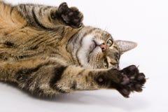 Un chat écartant ses griffes vers l'appareil-photo photographie stock libre de droits