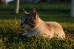 Un chat avec des yeux bleus Image stock
