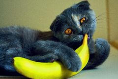 Un chat avec la banane Photo stock