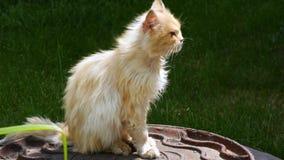 Un chat avec les yeux malades tourne sa tête et regarde l'appareil-photo Un chat rouge se chauffe au soleil banque de vidéos