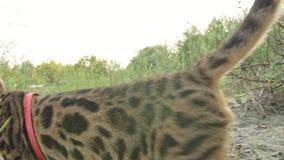 Un chat Bengale marche sur l'herbe verte Le minou du Bengale apprend à marcher le long des essais asiatiques de chat de léopard d banque de vidéos