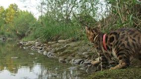 Un chat Bengale marche sur l'herbe verte Le minou du Bengale apprend à marcher le long des essais asiatiques de chat de léopard d clips vidéos