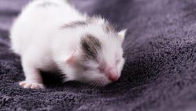 Un chat blanc d'un jour avec des repos tigrés de taches images stock