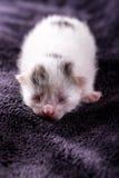 Un chat blanc d'un jour avec des sommeils tigrés de taches photographie stock