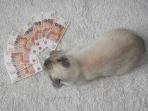 Un chat blanc est joué avec l'argent, un fond brouillé photographie stock