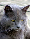 Un chat bleu russe de vieillissement photos libres de droits