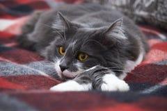 Un chat calme se trouve sur une couverture Espèces de forêt norvégiennes image libre de droits
