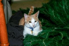 Un chat curieux de Noël image stock