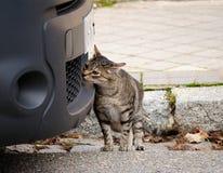 Un chat curieux recherche une odeur intéressante dans une voiture image stock