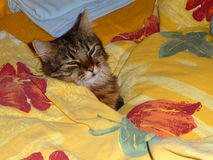 Un chat dans le lit Photo libre de droits