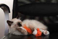 Un chat de Birman de point de joint, chaton de bébé de 4 mois, mâle Image stock