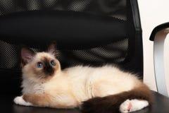Un chat de Birman de point de joint, chaton de bébé de 4 mois, mâle Photographie stock libre de droits
