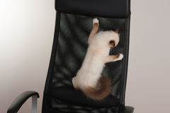 Un chat de Birman de point de joint, chaton de bébé de 4 mois, mâle Photos stock