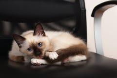 Un chat de Birman de point de joint, chaton de bébé de 4 mois, mâle Images libres de droits