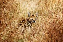 Un chat de civette rare Images stock