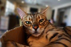 Un chat de maison du Bengale d'animal familier se repose dans une boîte, regardant fixement l'appareil-photo avec un regard décon Photo libre de droits
