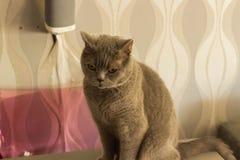 Un chat de race des Anglais se repose et regarde avec mécontentement photographie stock