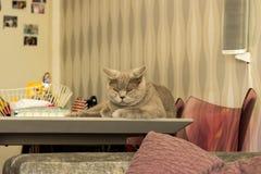 Un chat de race des Anglais se repose et regarde avec mécontentement photo libre de droits