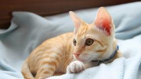 Un chat domestique curieux banque de vidéos