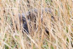 Un chat gris caché dans l'herbe sèche et les regards hors de elle, regardant avec un oeil photographie stock