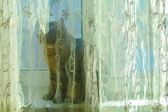 Un chat gris et tigré se repose sur un filon-couche de fenêtre caché par un rideau photos stock
