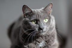 Un chat gris mignon se trouve au soleil le ` s rayonne et regarde sérieusement dans Photographie stock libre de droits