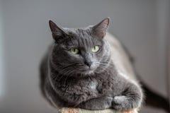 Un chat gris mignon se trouve au soleil le ` s rayonne et regarde sérieusement dans Photos libres de droits