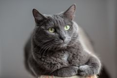 Un chat gris mignon se trouve au soleil le ` s rayonne et regarde sérieusement dans Photo libre de droits