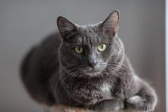 Un chat gris mignon se trouve au soleil le ` s rayonne et regarde sérieusement dans Image stock