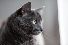 Un chat gris mignon se trouve au soleil le ` s rayonne et semble réfléchi parti Photographie stock