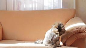 Un chat gris rasé se repose sur le sofa toilettage clips vidéos
