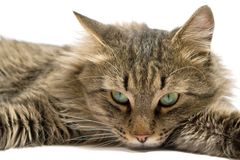Un chat menteur. d'isolement Image stock