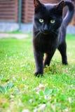 Un chat noir avec de beaux yeux verts marche le long du lusci Photos libres de droits
