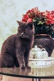 Un chat noir de race britannique sur la table basse Images stock