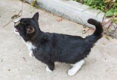 Un chat noir et blanc joue avec une brindille images libres de droits