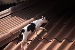 Un chat noir et blanc marchant sur le toit photo stock
