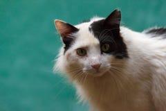 Un chat noir et blanc se repose et regarde dans la lentille du ` s de photographe Image libre de droits