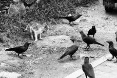 Un chat par le bord de la route mange Rappelle le corbeau autour du chat Image stock