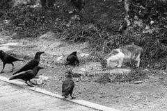 Un chat par le bord de la route mange Rappelle le corbeau autour du chat Photos stock