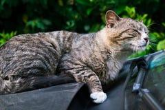 Un chat rayé brun paresseux fixant sur le pare-brise de voiture Images libres de droits