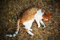 un chat rougeâtre callousing Images libres de droits