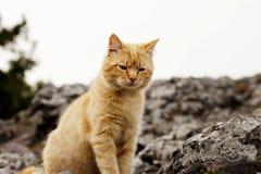 Un chat rouge se repose Images stock