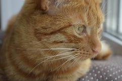 Un chat rouge se repose sur un filon-couche de fenêtre sur une fenêtre sur un coussin brun et regarde Moustache blanche photographie stock