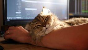 Un chat satisfait pelucheux se trouve sur les mains d'un hôte aimé qui s'assied à une table et travaille sur un ordinateur 3840x2 banque de vidéos