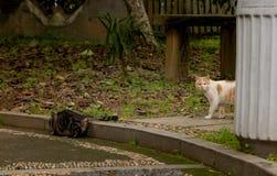 Un chat sauvage dans les silvestris de parc-Felis Photos libres de droits