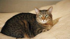 Un chat se trouvant sur le sofa banque de vidéos