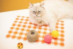 Un chat sibérien femelle sur le fond jaune Photographie stock