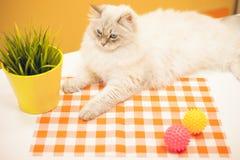 Un chat sibérien femelle sur le fond jaune Photo libre de droits