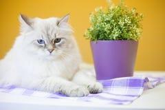 Un chat sibérien femelle sur le fond jaune Photo stock
