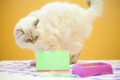 Un chat sibérien femelle sur le fond jaune Photos stock